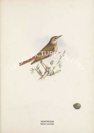 NIGHTINGALE - Sylvia Luscinia